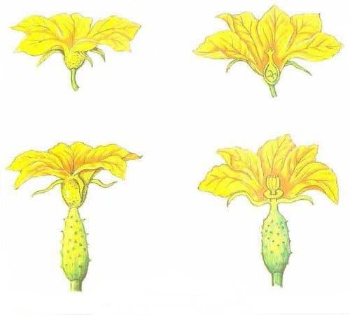 Мужские и женские цветки огурцов