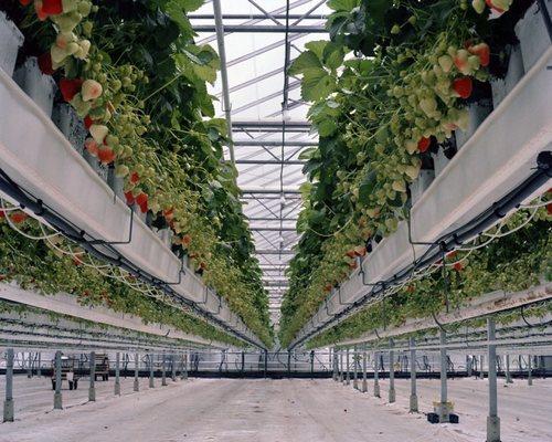 Голландская клубничная ферма в теплице