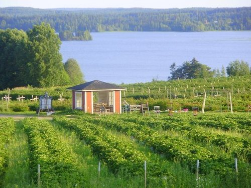 Клубничные фермы в Финляндии
