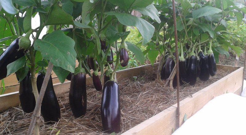 Урожай баклажанов в теплице