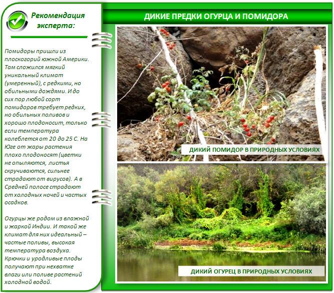 Природные условия огурца и помидора