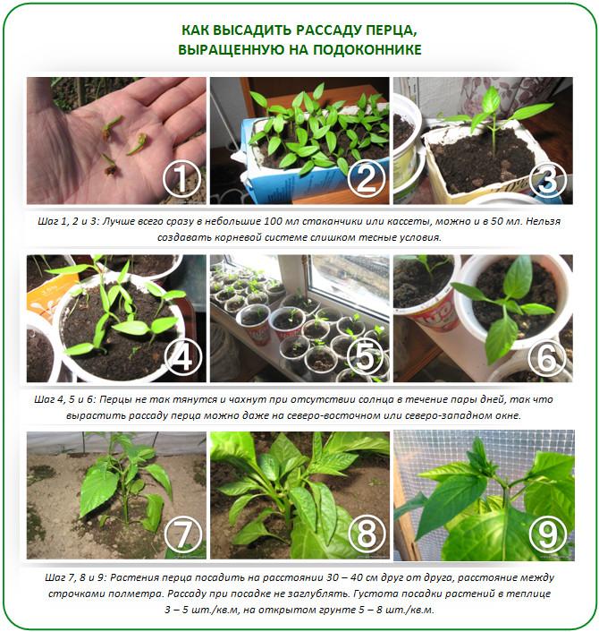 Выращивание перца для теплицы