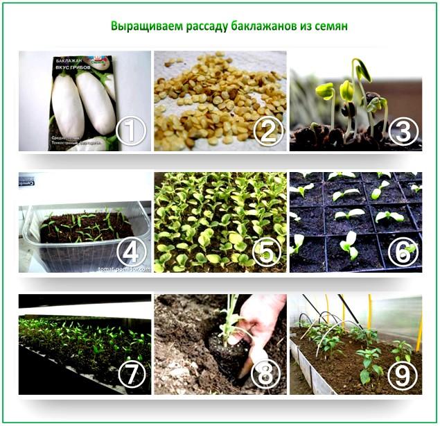 Как правильно сеять баклажаны на рассаду