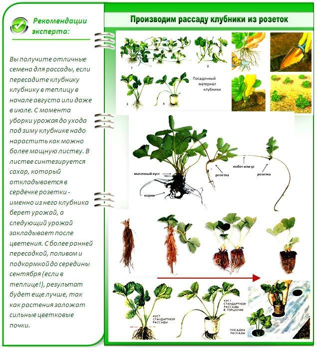Как вырастить рассаду клубники