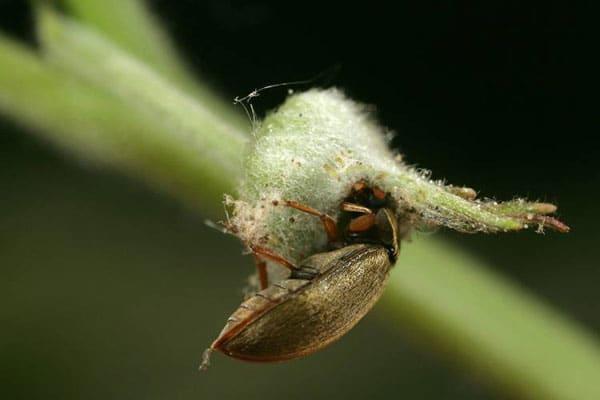 Вредитель малинный жук