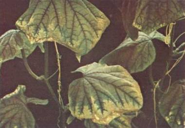 Часть растения, которое находится над землей, поглощает вещество, которое разносится по всему сорняку