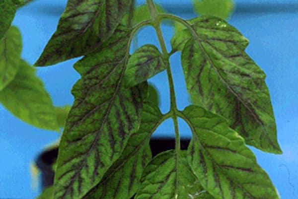 Недостаток фосфора у томатов