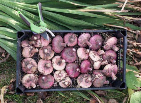 Для просушки луковицы раскладывают в один слой