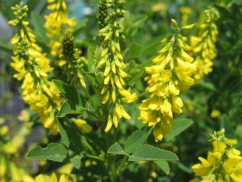 Донник желтый – сидерат и медонос