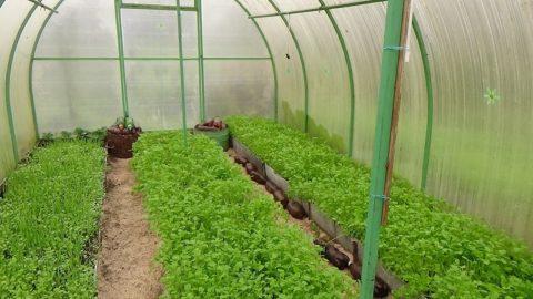 Фитосанитарные свойства сидератов особенно пригодятся тепличным растениям