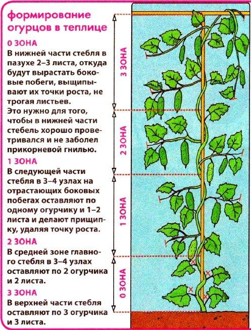 Схема формирования огурцов теплице