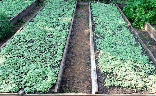 Горчица белая - зелёное удобрение