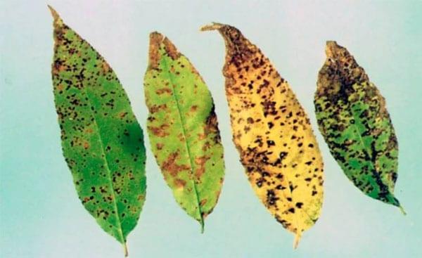 Заболевание коккомикоз растений