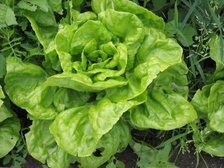 Как нужно ухаживать за ростками салата