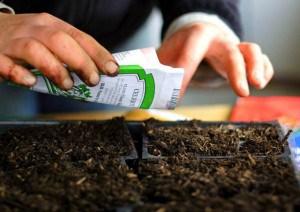 как правильно выращивать в теплице помидоры