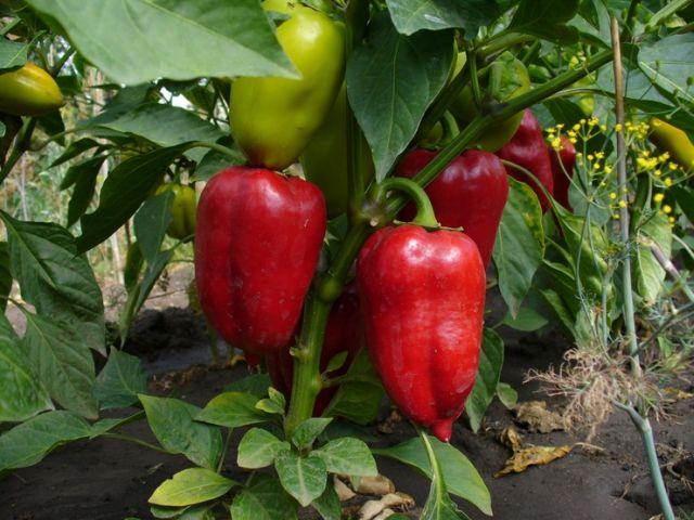 Как выращивать сладкий перец