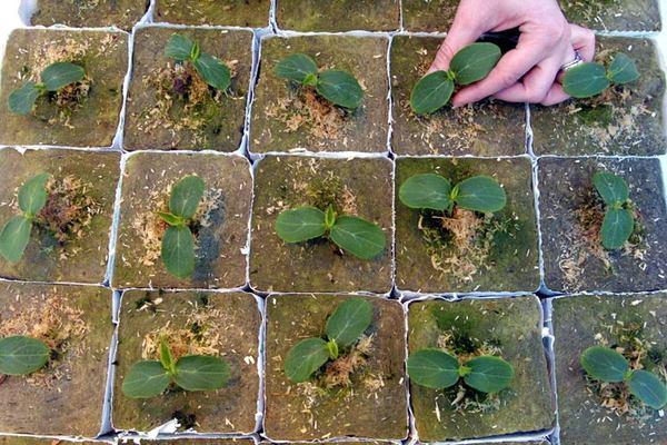 Как вырастить огурец в закрытом грунте