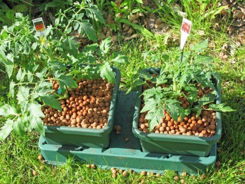 Керамзит используют в основном при выращивании рассады и комнатных растений