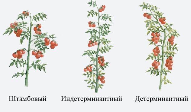 Типы кустов томатов