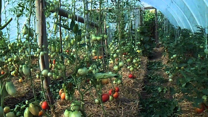 """Урожайность овощей под """"Светлицей"""" выше, чем под поликарбонатом"""