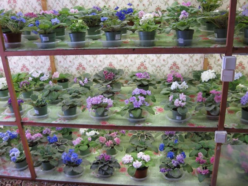 Металлический стеллаж в доме, оснащённый специальной подсветкой и предназначенный для выращивания различных растений, в данном случае, фиалок