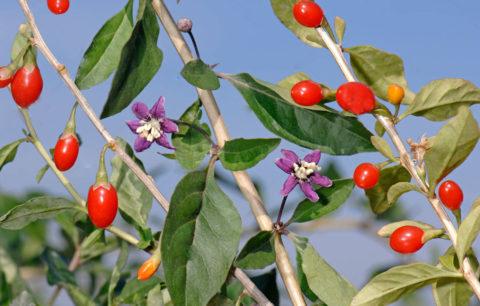 На одном кусте могут быть одновременно цветы, завязи и зрелые плоды