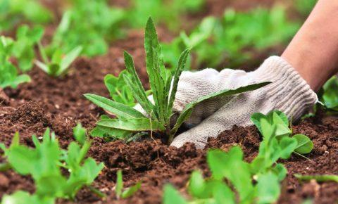 Не стоит оставлять под мульчей сорную траву