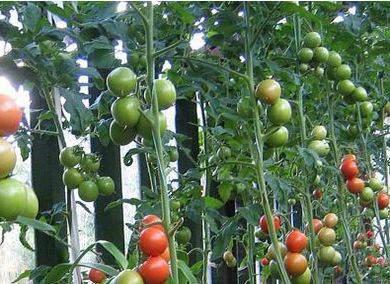 низкорослые томаты для теплиц