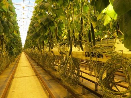 Голландская методика выращивания огурцов