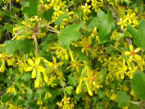 Обильное цветение и красивой формы глянцевые листья делают кусты очень декоративными