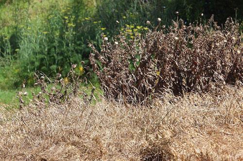 Сорняки после обработки