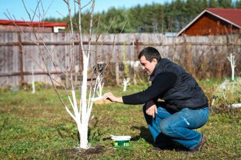 Осень – лучшее время для побелки деревьев
