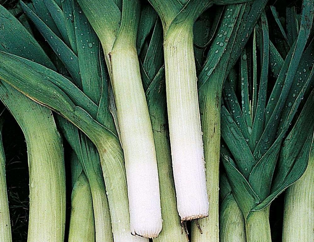 Особенности выращивания лука порея
