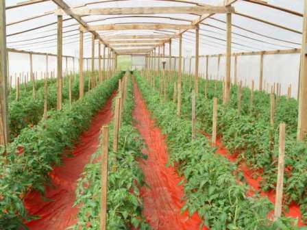 Парники для томата