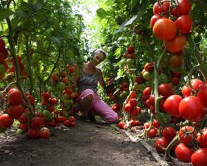 Парниковые помидоры