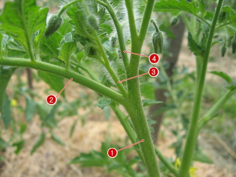 Пасынок и цветочная кисть томатов