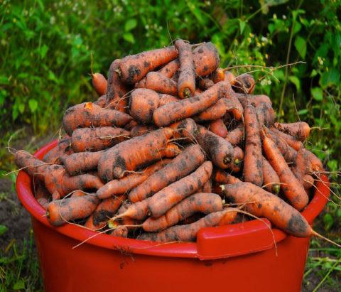 Перед уборкой на хранение морковь нужно перебрать