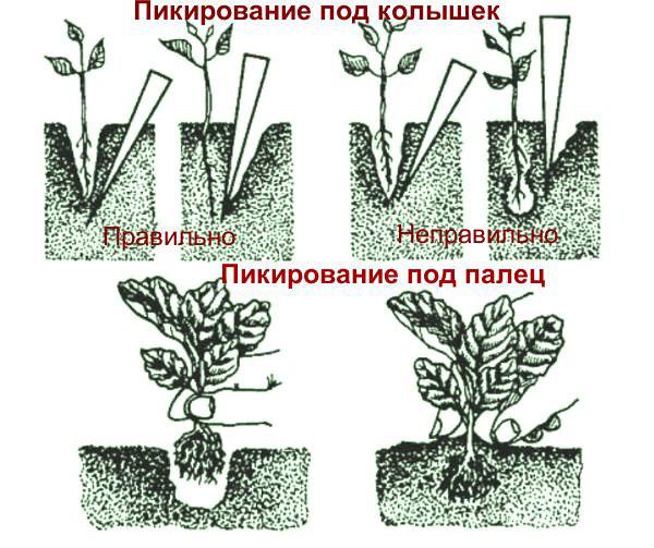 Схема пикирования саженцев капусты