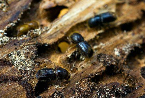 Побелка предохраняет плодовые деревья от жуков-короедов и других вредителей