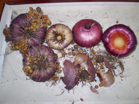 Подготовленные к хранению луковицы с детками