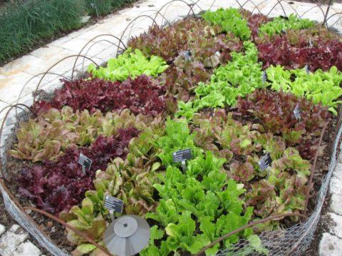 Полезные и ароматные пряности можно вырастить на собственном участке