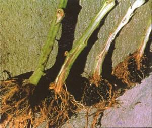 Фузариозное увядание начинается с корневой шейки