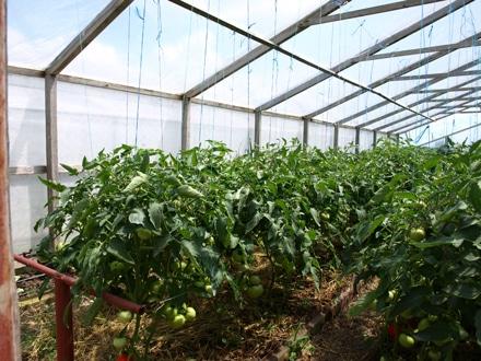 Полудетерминантные томаты