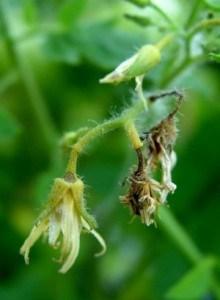 Не опылившиеся цветки сохнут и осыпаются