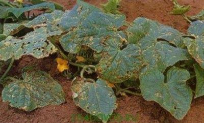 Пораженные листья из-за сухих выкрашивающихся пятен становятся «ажурными»