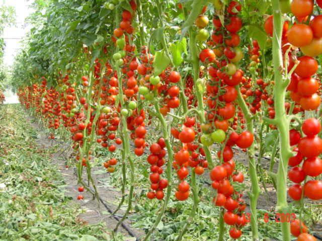 Правильный уход за помидорами