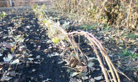 При подготовке к зимовке молодые кустики пригибают к земле