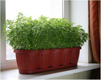 При выращивании дома для петрушки следует выбирать не самый солнечный подоконник