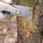 Ранки, трещины, спилы и другие повреждения необходимо замазать садовым варом