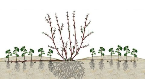 Размножение горизонтальными отводками